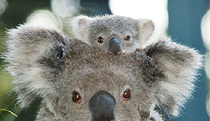 Billabong Koala and Wildlife Park - Mount Gambier Accommodation