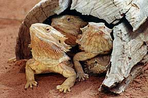 Alice Springs Reptile Centre - Mount Gambier Accommodation