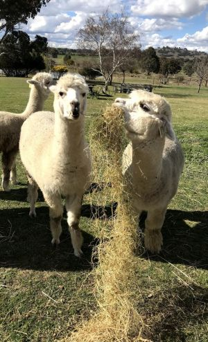 Clearview Alpacas - Mount Gambier Accommodation