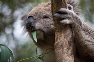 Phillip Island Koala Conservation Centre Entry ticket - Mount Gambier Accommodation