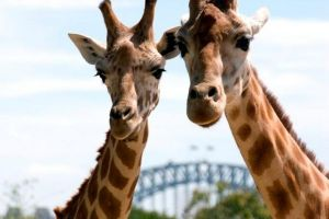 Sydney Harbour Ferry with Taronga Zoo Entry Ticket - Mount Gambier Accommodation