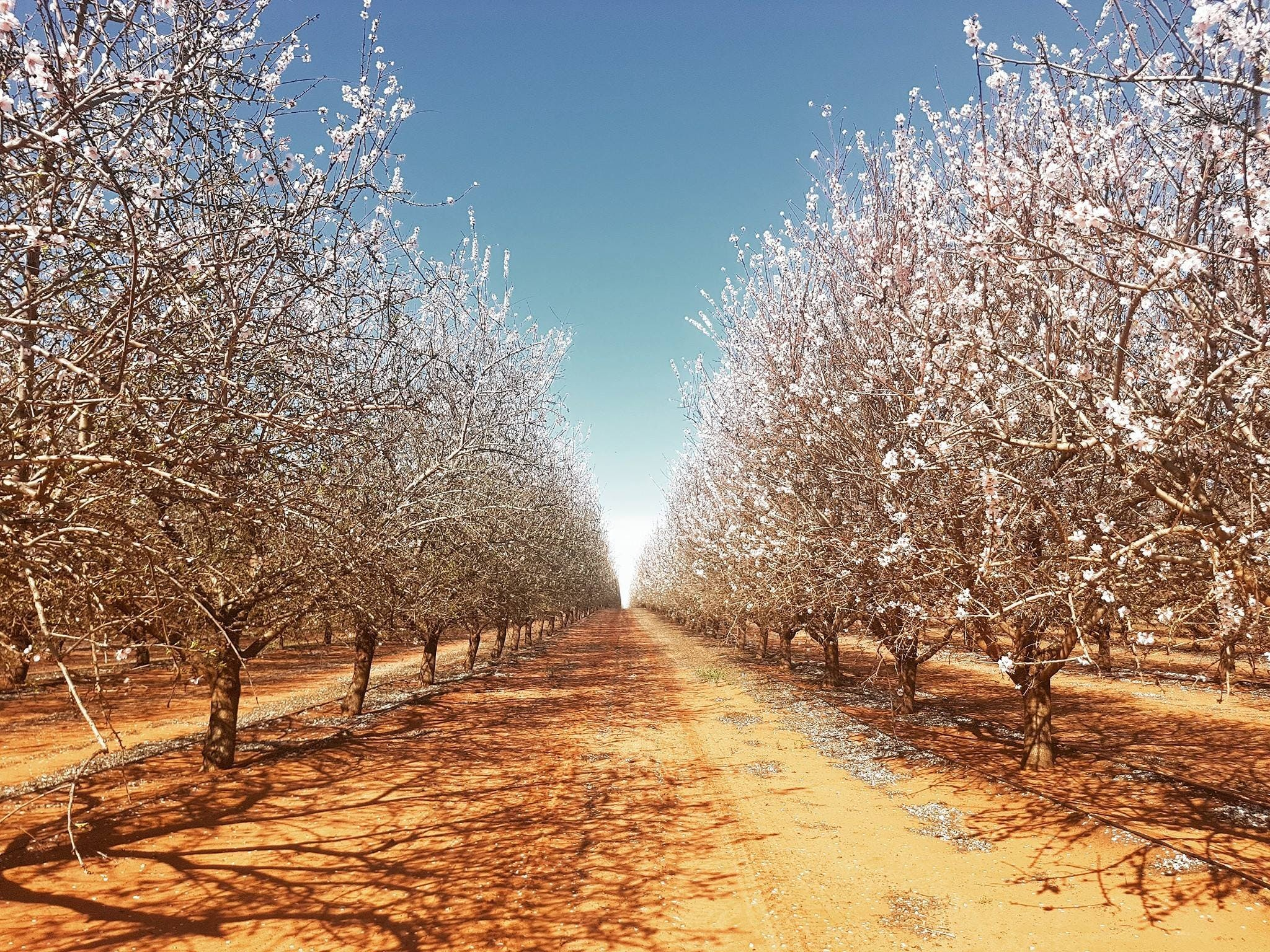 Mallee Almond Blossom Festival - Mount Gambier Accommodation